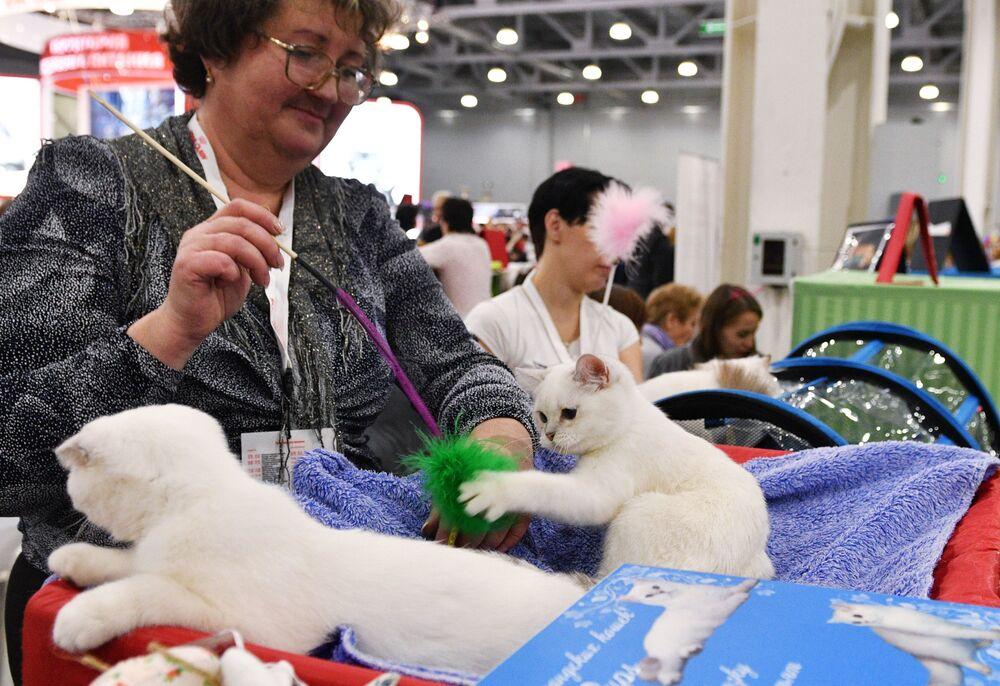 Kot rasy szkocki zwisłouchy cechuje się zrównoważonym charakterem, dużym przywiązaniem do domu i do człowieka, jest niewymagający.