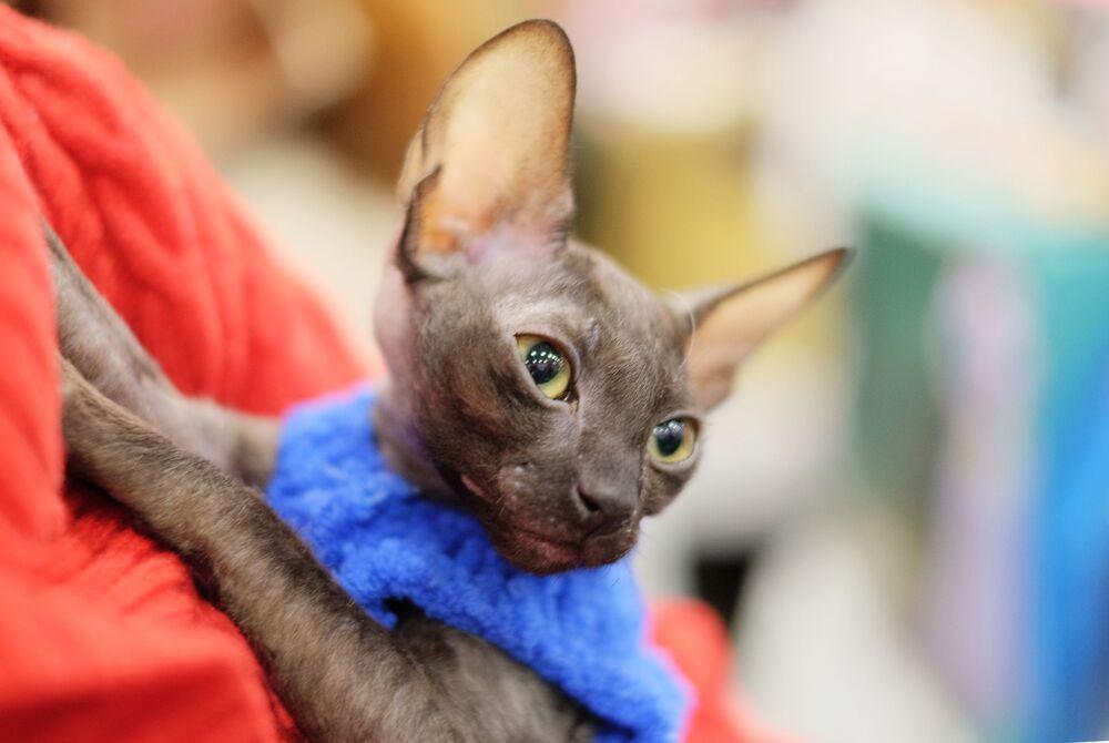 Kot rasy Cornish Rex wyróżnia się miękką, wełnistą sierścią.