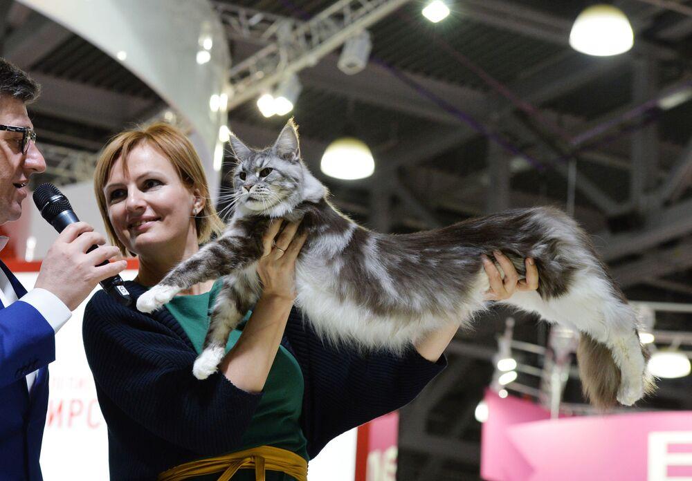 Maine Coon uważane są za największe koty domowe: samce mogą osiągać masę do 15 kg.