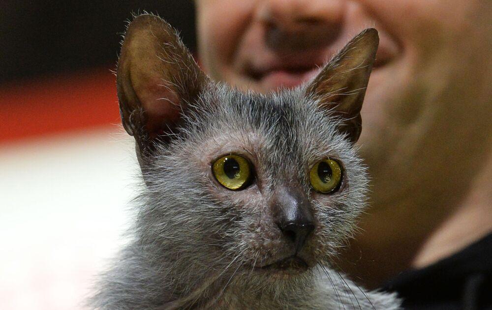 """Nazwa rasy  lykoi z greckiego oznacza """"kotowilk"""", to bardzo rzadka i droga rasa."""