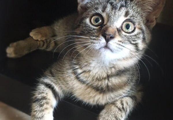 Nie tylko rasowe koty cechują się pięknym wyglądem i przyjaznym usposobieniem: w wielu domach najmilszymi towarzyszami są zwykłe dachowce. Zobacz wiecej: http://iskracats.org/products/category/44662 , a także: http://rayfund.ru/animals/ - Sputnik Polska