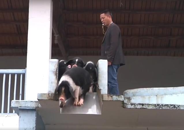 Jak wyhodować szczęśliwe świnie