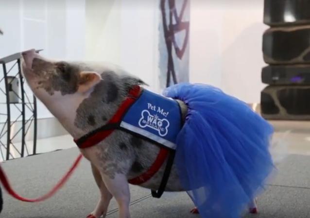 Lotniskowa świnka