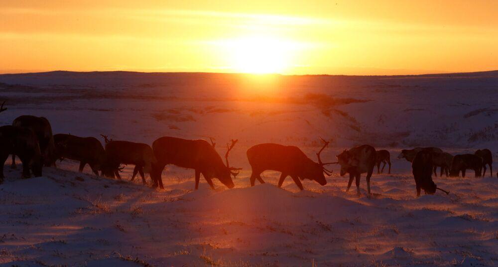 Renifery pasą się podczas zachodu słońca w Nienieckim Okręgu Autonomicznym