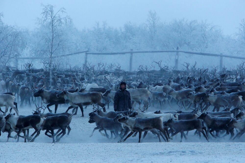 Hodowca reniferów segreguje zwierząt w zagrodzie we wsi Krasnoje w Nienieckim Okręgu Autonomicznym
