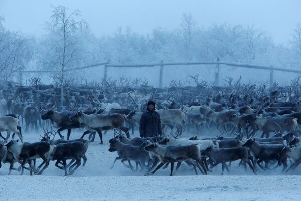 Hodowca reniferów segreguje zwierząt w zagrodzie we wsi Krasnoje w Nienieckim Okręgu Autonomicznym - Sputnik Polska