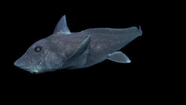 Pierwsze nagranie rzadkiego gatunku rekina-widma - Sputnik Polska