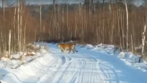 W Kraju Nadmorskim na drodze można spotkać nie tylko niedźwiedzia - Sputnik Polska