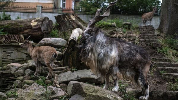 Kozioł w kaliningradzkim zoo - Sputnik Polska