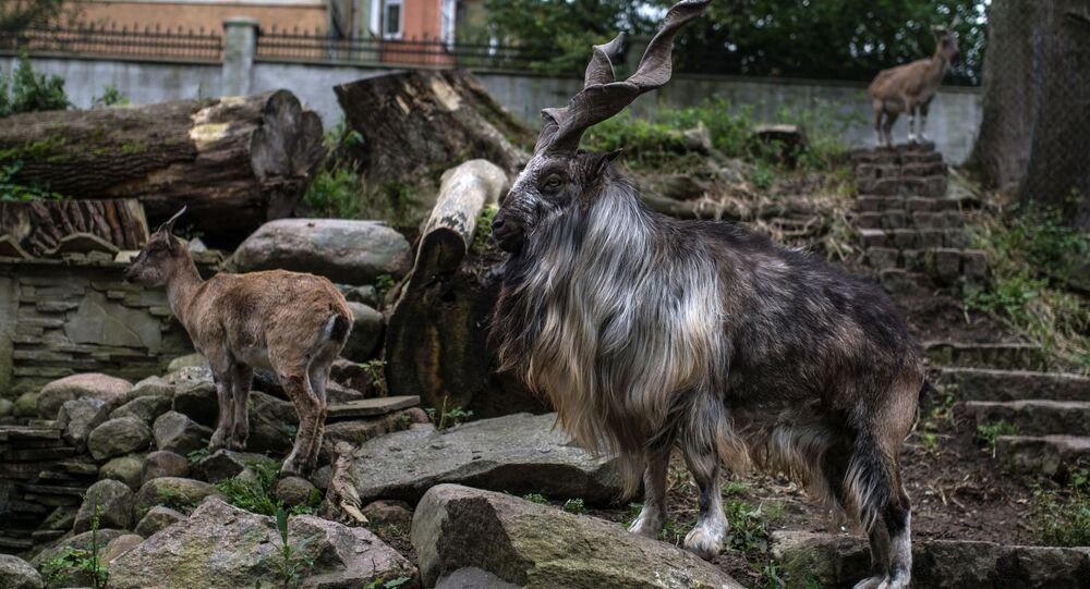 Kozioł w kaliningradzkim zoo