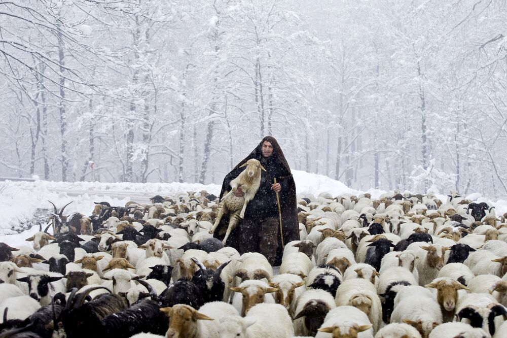 Irański pasterz z jagniętami podczas opadów śniegu w Górach Tałyskich