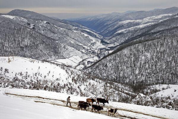 Irański pasterz z krowami w Górach Tałyskich - Sputnik Polska