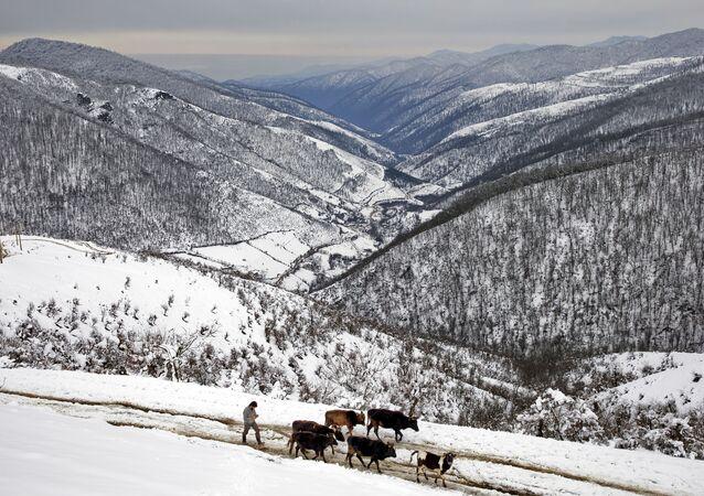 Irański pasterz z krowami w Górach Tałyskich
