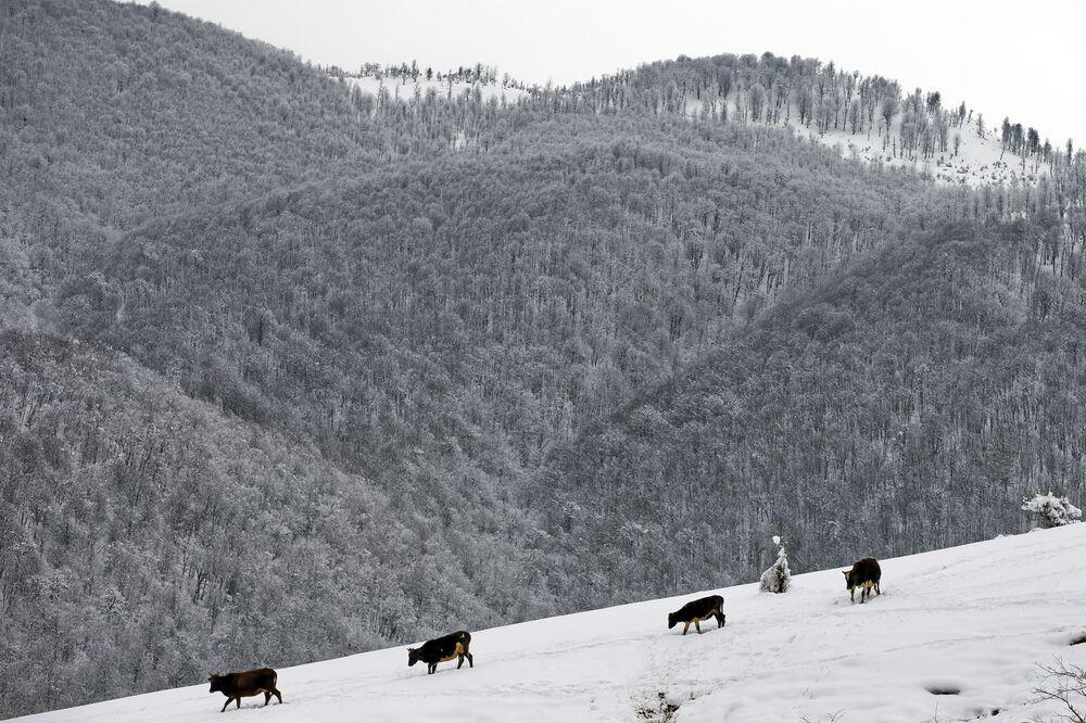 Krowy idą do źródła w Górach Tałyskich w Iranie