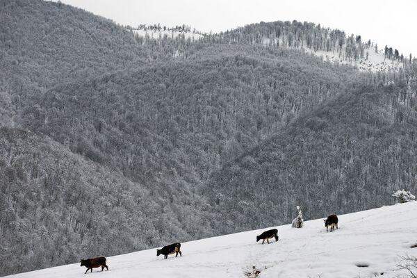 Krowy idą do źródła w Górach Tałyskich w Iranie - Sputnik Polska