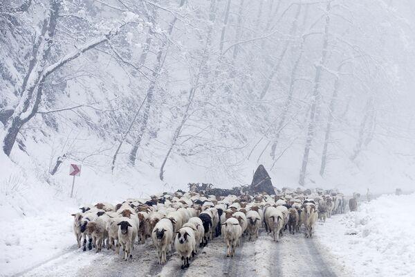 Irański pasterz z owcami podczas opadów śniegu w Górach Tałyskich - Sputnik Polska