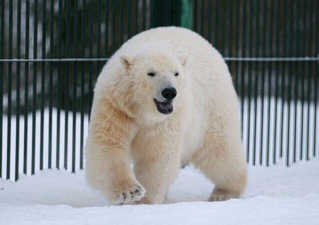 Biały niedźwiedź w centrum rozrodu rzadkich gatunków zwierząt ogrodu zoologicznego w Moskwie