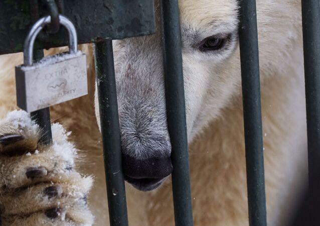 Biały niedźwiadek w centrum reprodukcji rzadkich gatunków zwierząt moskiewskiego zoo w miejscowości Syczewo w obwodzie moskiewskim