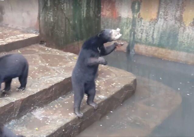 Głodne niedźwiedzie w Indonezji