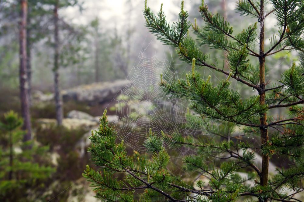 Pajęczyna w lesie o świcie (Karelia)