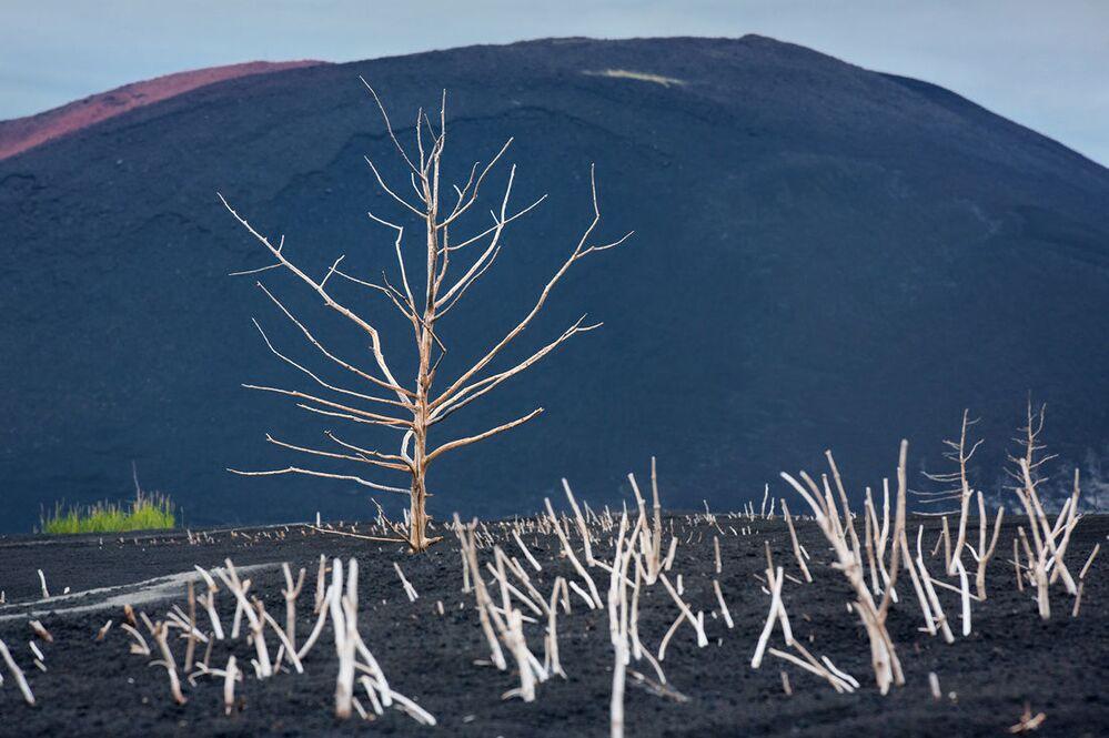 Suche rośliny na tle zbocza wulkanu, którego erupcja doprowadziła do ich obumarcia