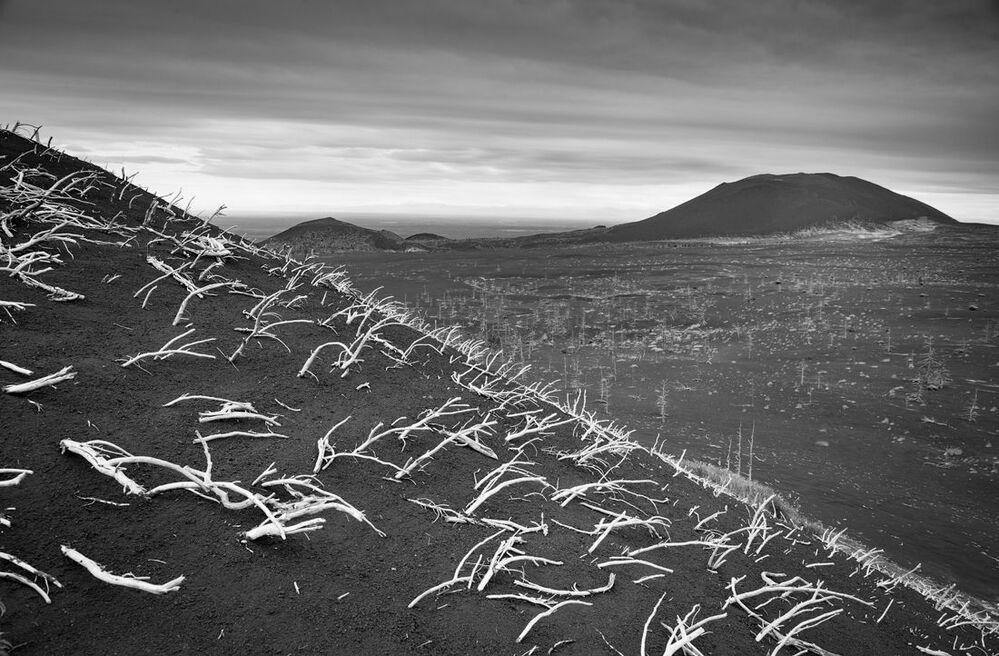 Sosna karłowa zasypana popiołem na zboczu jednego z wulkanów