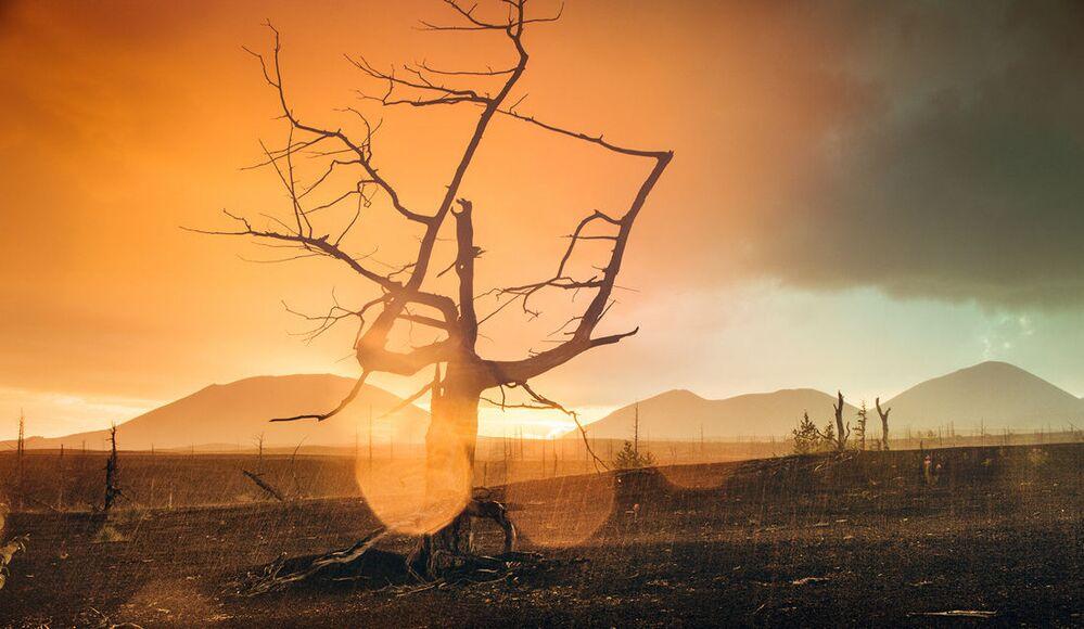 Drzewo zniszczone w wyniku erupcji z 1975 roku