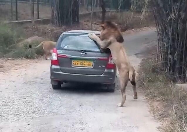 Indyjska taksówka dla lwa