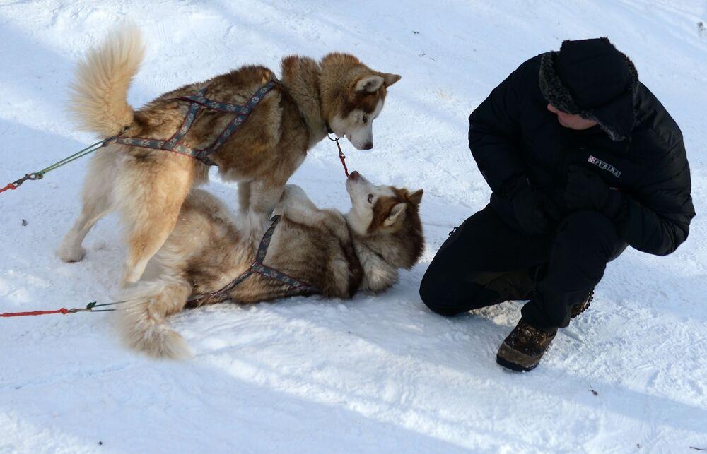 Psy rasy husky w moskiewskim parku Sokolniki podczas programu rehabilitacyjno-edukacyjnego Po drodze z husky