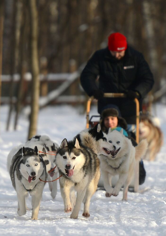 Psy rasy husky wożą dzieci po parku Sokolniki