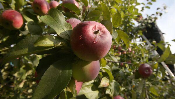 Jabłka w sadzie - Sputnik Polska