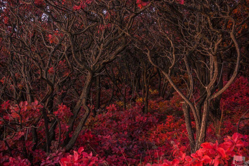 Zdjęcie Zawiłości czerwonego lasu. Autor: Siergiej Cwietkow. Kategoria: Natura