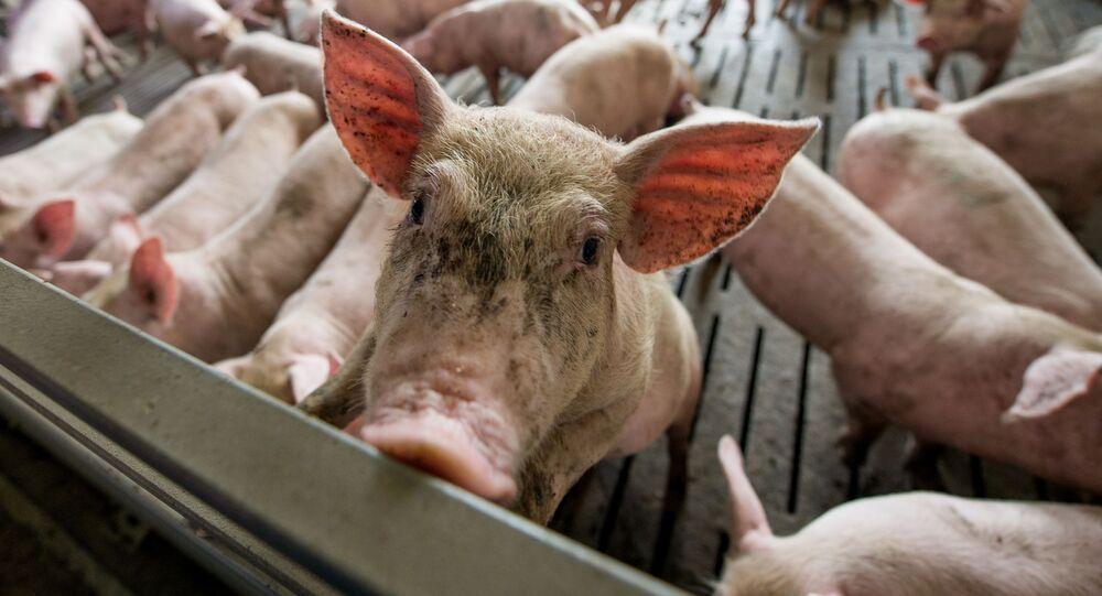 Świnie w chlewni