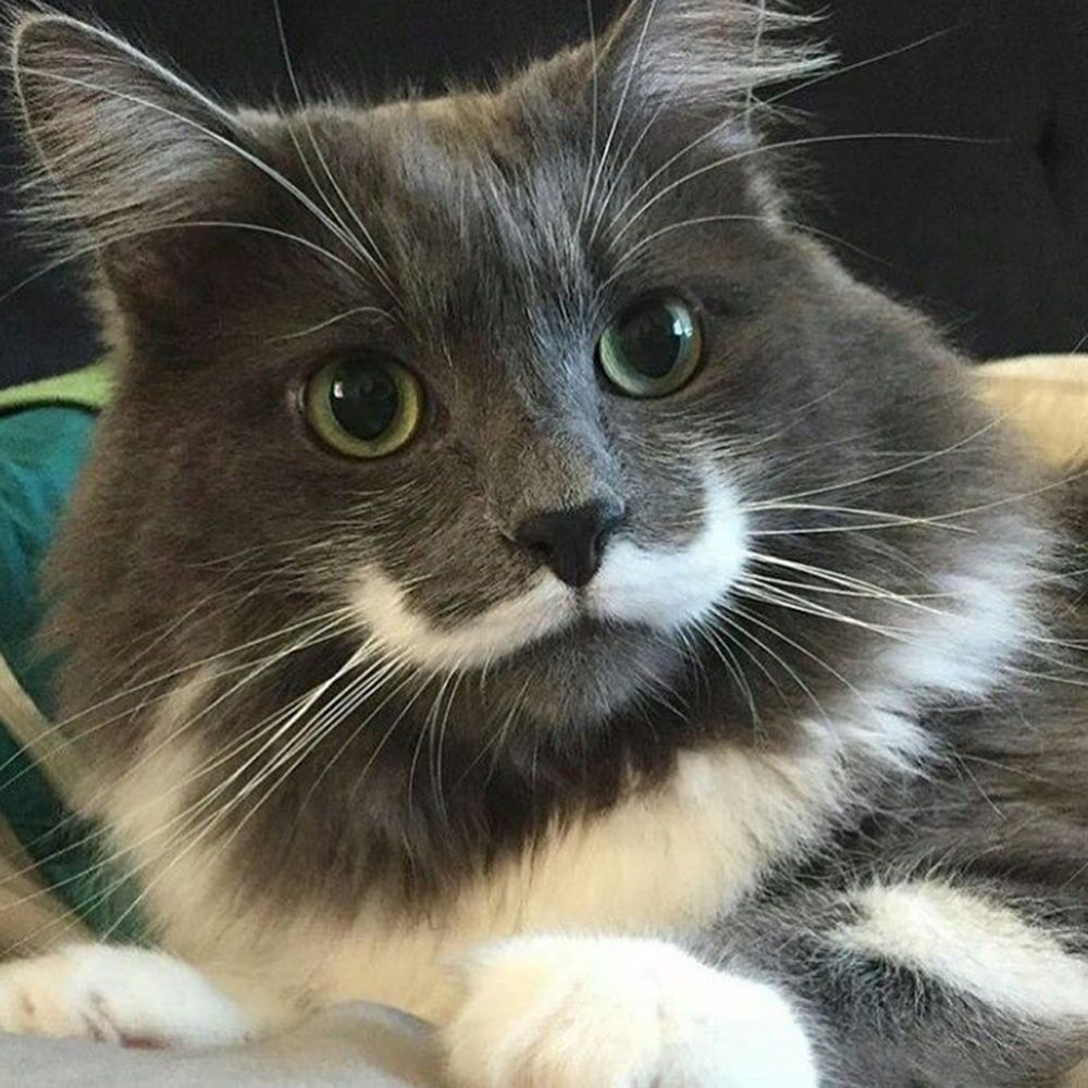 Kot zwany Hamiltonem zasłynął w internecie dzięki niezwykłemu umaszczeniu pyszczka: ma białe wąsy z zakręconymi końcówkami jak u Herkulesa Poirota.