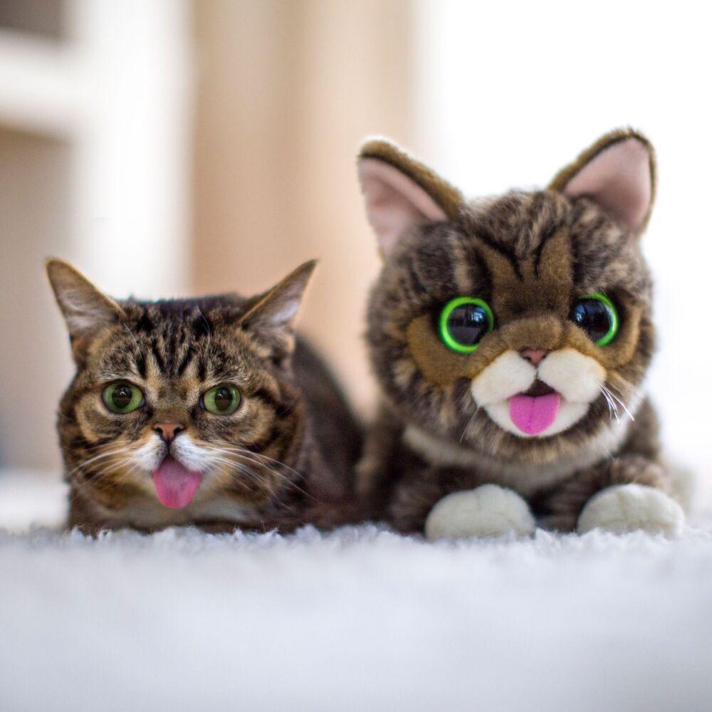 Amerykańska kotka Lil BUB zdobyła popularność dzięki zwisającemu jak u psa językowi i zaskoczonemu spojrzeniu. Za taki efekt odpowiada gen karłowatości.
