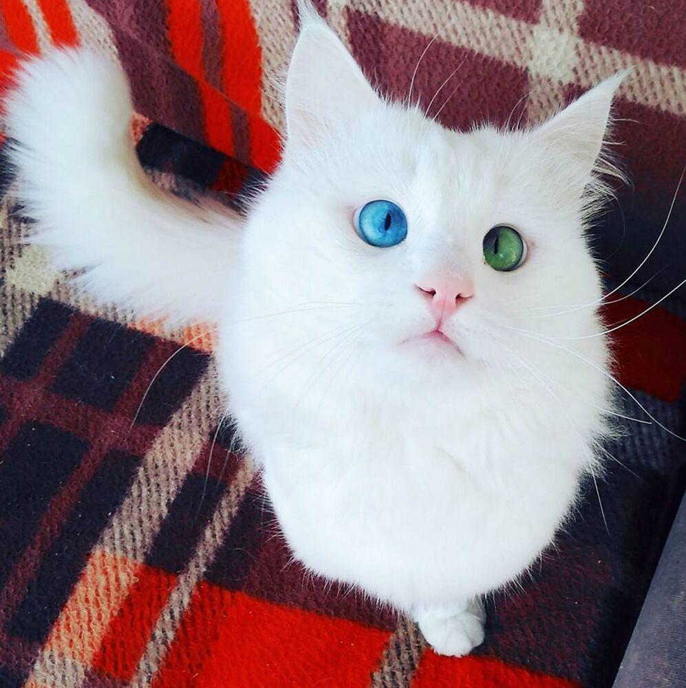 Kot Alosz rasy turecki van zawdzięcza popularność hipnotyzującemu spojrzeniu. Jedno oko Alosza jest niebieskie, a drugie - szmaragdowe.