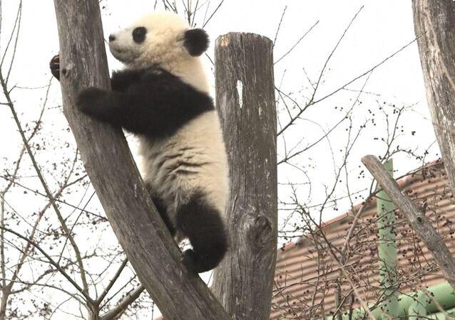 Sześciomiesięczne pandy po raz pierwszy wyszły na spacer w wiedeńskim ZOO
