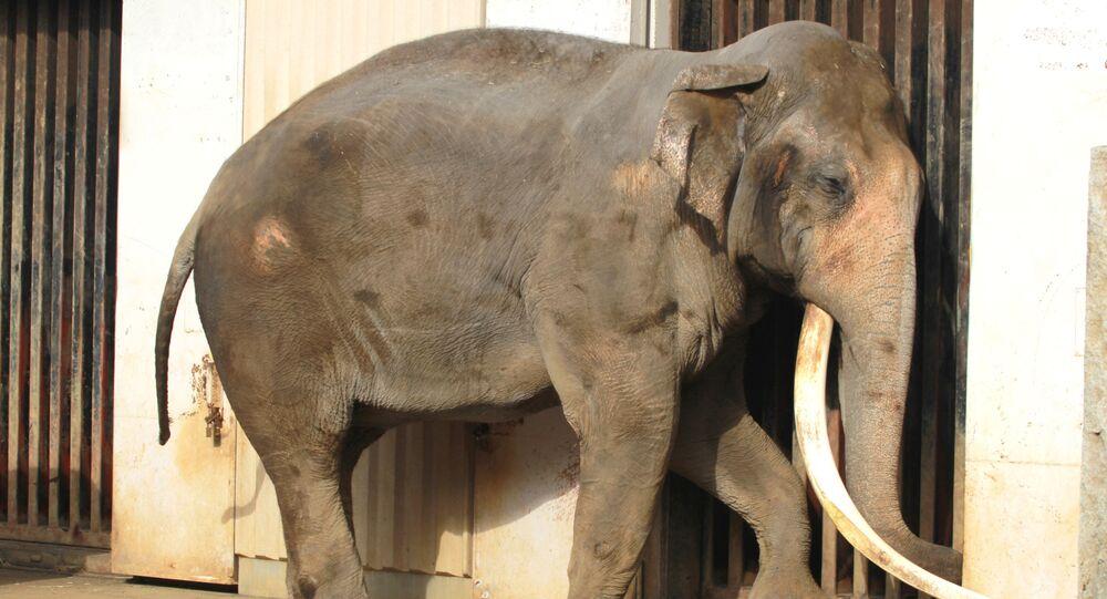 37-letni Wichai Madee z Tajlandii i jeszcze jeden pracownik zoo myli słonia w klatce