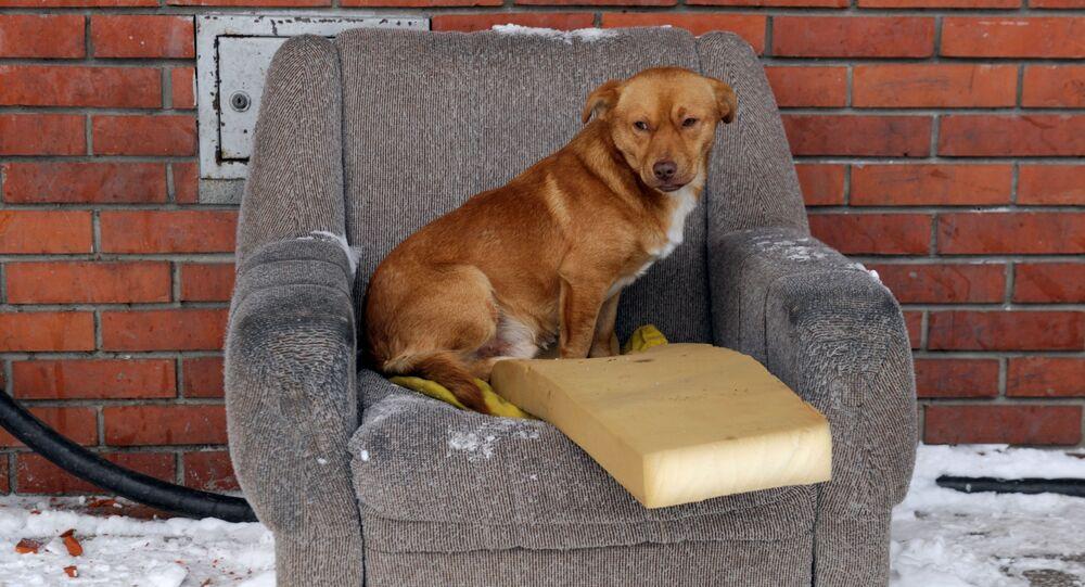 Bezpański pies na krześle