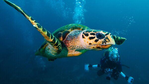 Żółw zielony. Morze Czerwone. Egipt - Sputnik Polska