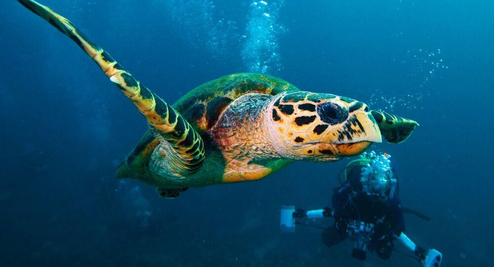 Żółw zielony. Morze Czerwone. Egipt