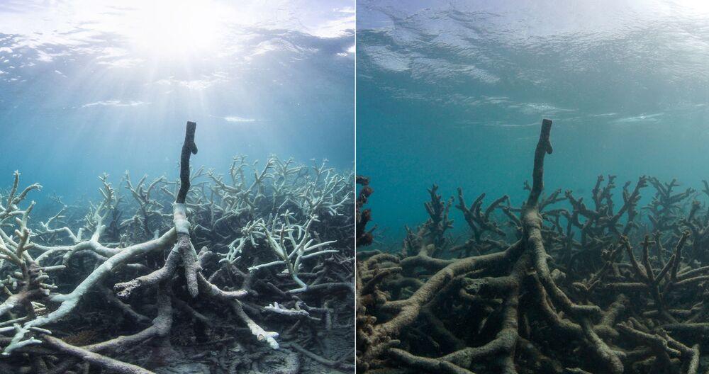 Na zdjęciach widać różnicę między rafą koralową w rejonie wyspy Lizard w marcu i maju 2016 roku.