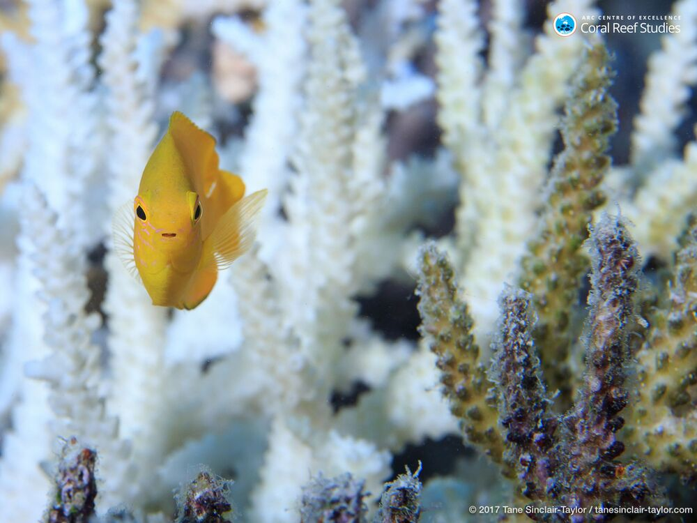 Biolodzy są przekonani, że rafa traci kolor z powodu spadku liczby zooksantelli - mikroskopijnych wodorostów, żyjących w tkankach koralowych polipów.