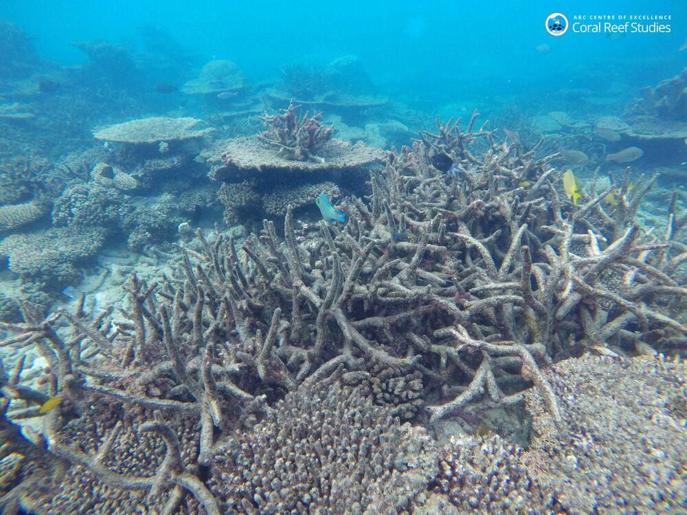 Naukowcy uważają, że ten proces zagraża samemu istnieniu Wielkiej Rafy Koralowej.