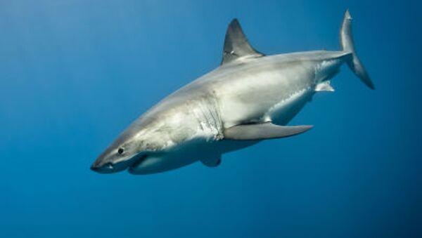 Rekin żarłacz biały - Sputnik Polska