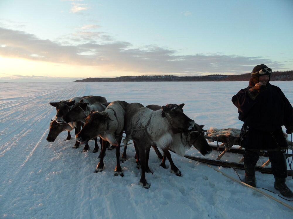 Zimą koło czumów nie widać renów. One same pasą się w tundrze, a hodowcy co 2-3 dni jeżdżą ich doglądać. Zimą ludzie starają się nie niepokoić renów, aby spokojnie nabierały wagi.