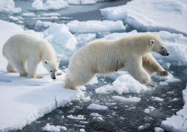 Niedźwiedzica dba o swoje młode, ucząc je wszystkich tajników życia arktycznego przez kilka lat.