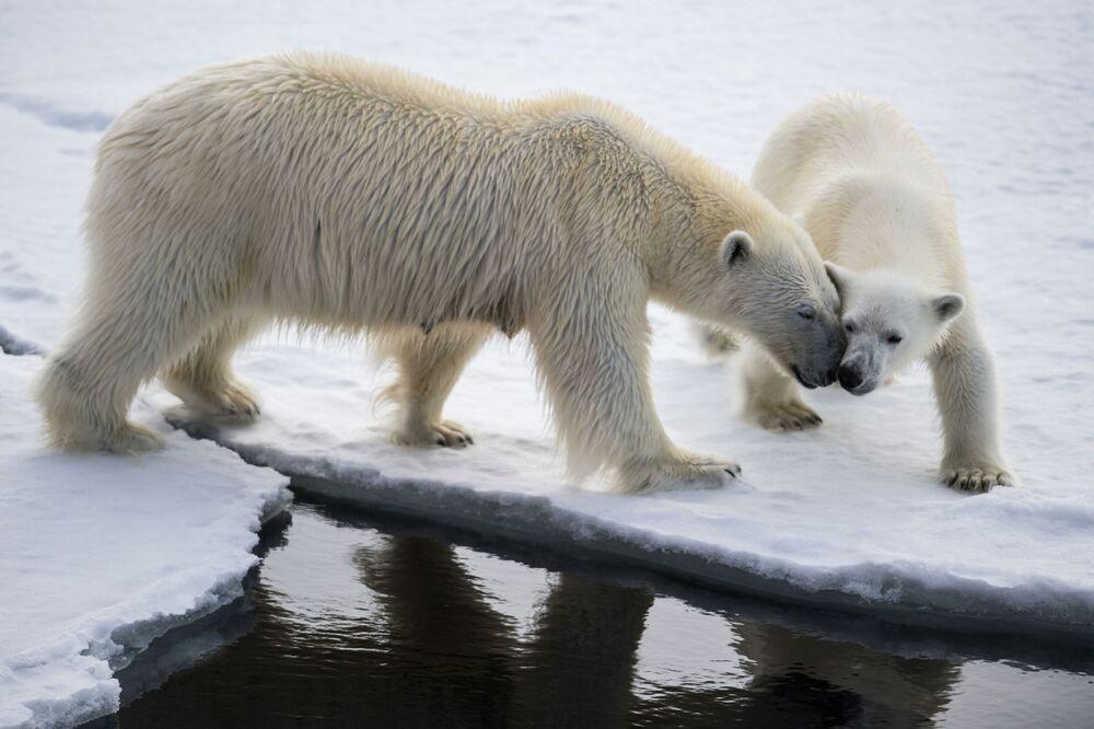 Biała niedźwiedzica jest troskliwą mamusią. Karmi swoje młode przez osiem miesięcy i dopiero po tym wyprowadza je z nory, aby zaprowadzić nad wodę i nauczyć polowania.