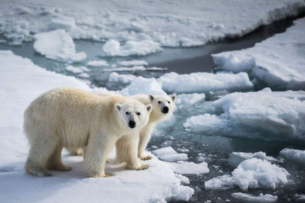 Średnia roczna temperatura w rejonie archipelagu Ziemia Franciszka Józefa wynosi 12 stopni. Żyć i dobrze się czuć mogą tu rzeczywiście tylko białe niedźwiedzie, mające specyficzną sierść pozbawioną pigmentacji.