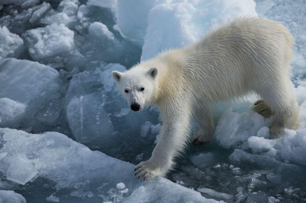 Włoski futra niedźwiedzia są puste w środku i półprzezroczyste, przepuszczają tylko promienie ultrafioletowe, nadając sierści właściwości termoizolacyjne.